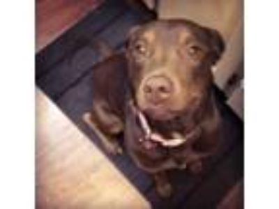 Adopt Nina a Brown/Chocolate Labrador Retriever / American Pit Bull Terrier /