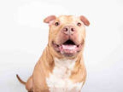 Adopt CHUCKY a Brown/Chocolate - with Black American Pit Bull Terrier / Mixed