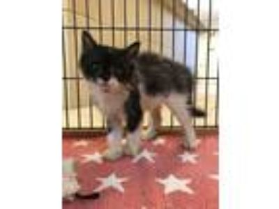 Adopt 3 ADORABLE KITTENS AVAILABLE a Domestic Short Hair