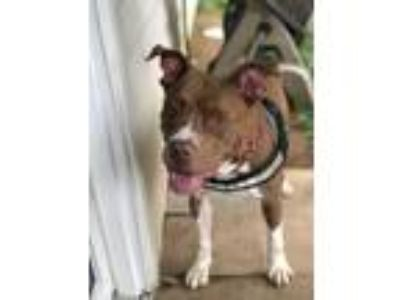 Adopt Louisa Catherine (Elsie) a Tan/Yellow/Fawn - with White Pit Bull Terrier
