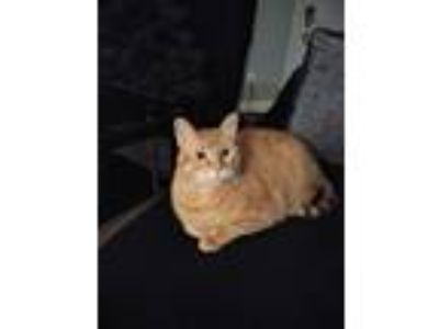 Adopt Pumpkinhead a Orange or Red Tabby American Shorthair cat in Indianapolis