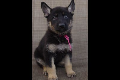 German Shepherd Dog Puppies for Family or Sport/Work