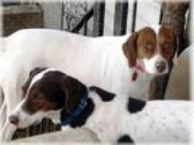 Adopt Crystal and Travis - local pair- bonded mom and son a Beagle