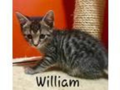 Adopt William a Tiger Striped Domestic Shorthair (short coat) cat in Cherry