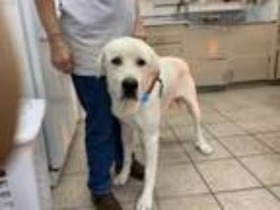 Adopt OSO a Great Pyrenees