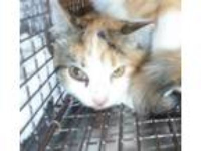 Adopt a Domestic Shorthair / Mixed cat in Raleigh, NC (25918947)