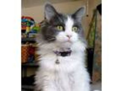 Adopt Ariel a Gray or Blue Domestic Longhair (long coat) cat in Rochester
