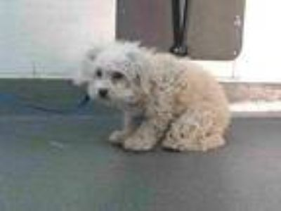Adopt 19-22932 a Poodle