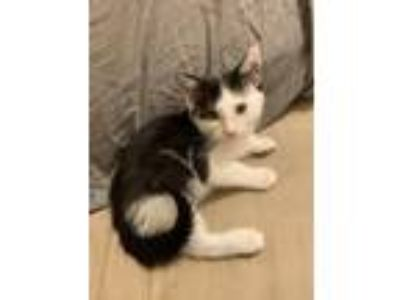Adopt Panini a Black & White or Tuxedo Domestic Shorthair / Mixed cat in