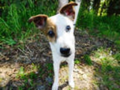 Adopt COOPER a White - with Brown or Chocolate Jack Russell Terrier / Mixed dog