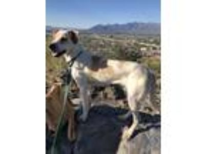 Adopt Cooper a White - with Tan, Yellow or Fawn Beagle dog in Tucson