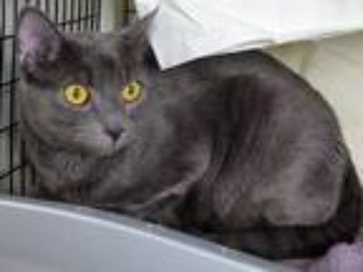 Adopt Jeeper a Domestic Shorthair / Mixed (short coat) cat in Lawrenceville