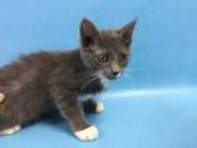 Adopt Holden a Gray or Blue Domestic Shorthair / Mixed cat in St.