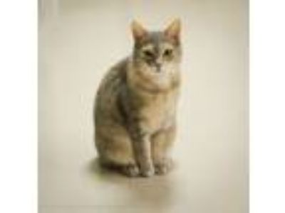 Adopt Folgers a Dilute Calico, Domestic Short Hair