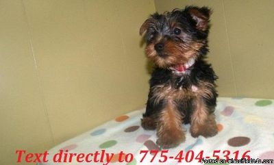 Cute Yorkie Puppies for free Adoption.Text to 775x404x5316