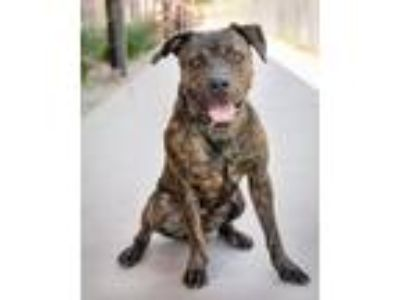 Adopt Bullet a American Staffordshire Terrier, Mixed Breed