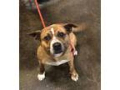 Adopt Gracie a Pit Bull Terrier, Australian Cattle Dog / Blue Heeler