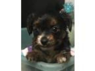 Chorkie Puppies 350.00 to 375.00