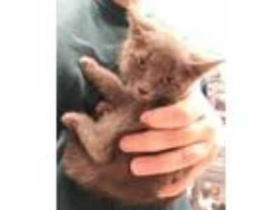 Adopt Willow(Green)(Avail 6/16) a Gray or Blue Russian Blue / Domestic Shorthair