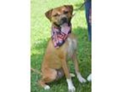 Adopt Skippy (fostered in TN) a Tan/Yellow/Fawn - with White Boxer / Mixed dog