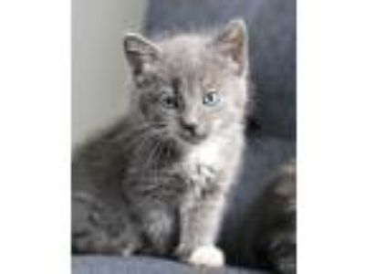 Adopt Sally a Gray or Blue (Mostly) Domestic Shorthair (short coat) cat in
