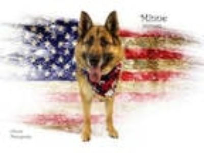 Adopt Dog a Black - with Tan, Yellow or Fawn German Shepherd Dog / Mixed dog in