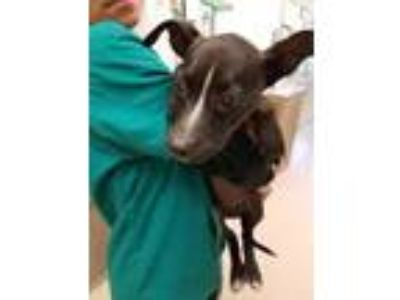Adopt Lucky a Black Hound (Unknown Type) / Mixed dog in Honolulu, HI (24413722)