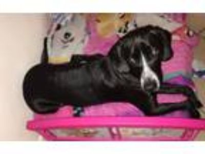 Adopt Snickers a Black - with White Hound (Unknown Type) / Cocker Spaniel dog in