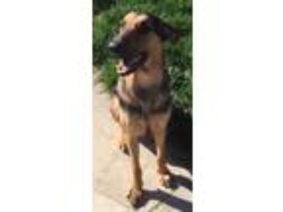 Adopt Bodhi a Brown/Chocolate - with Black German Shepherd Dog / Doberman