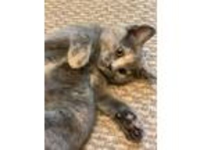 Adopt Dunham kittens a Tortoiseshell Domestic Shorthair (short coat) cat in