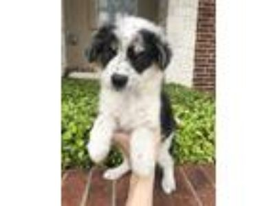 Adopt Parsley a White - with Black Border Collie / Mixed dog in New York