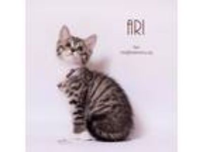 Adopt Ari a Domestic Short Hair
