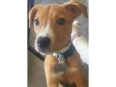 Adopt Scout a Hound, Mixed Breed