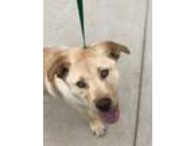 Adopt Fenton a Tan/Yellow/Fawn Retriever (Unknown Type) / Mixed dog in