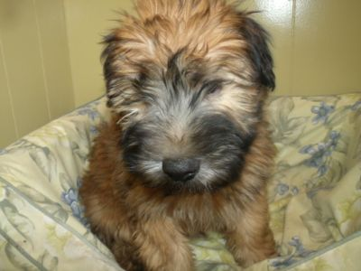 Soft Coated Wheaten Terrier PUPPY FOR SALE ADN-70245 - red