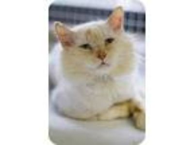 Adopt Jazz a Cream or Ivory (Mostly) Siamese (medium coat) cat in Grayslake