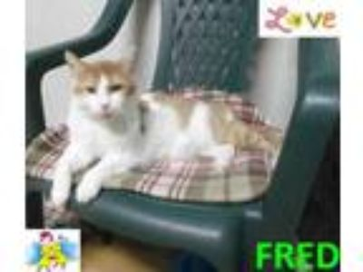 Adopt Fred a White Domestic Shorthair / Domestic Shorthair / Mixed cat in