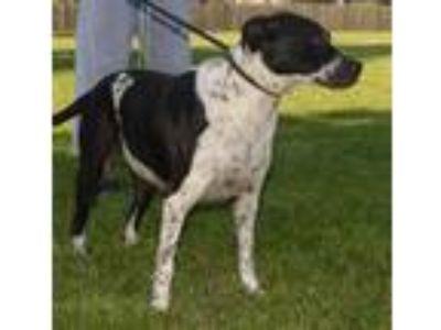 Adopt Freckles a Labrador Retriever