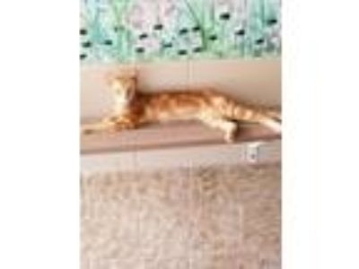 Adopt Butterbean a Domestic Short Hair