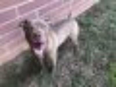 A086784 Staffordshire Bull Terrier Dog