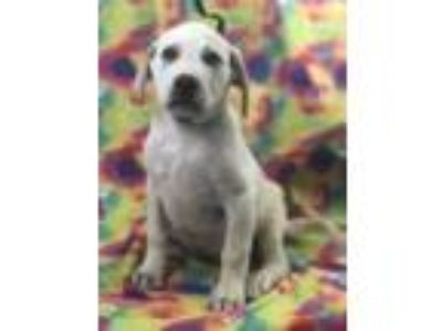 Adopt Echo a White Labrador Retriever / Mixed Breed (Large) / Mixed dog in
