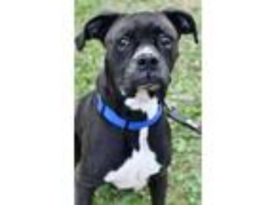 Adopt Brock a Black Boxer / Mixed dog in Niagara Falls, NY (22772021)