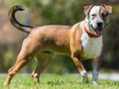 Adopt *ZILLA a Brown/Chocolate - with White American Pit Bull Terrier / Mixed