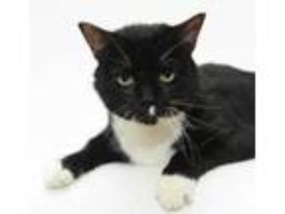 Adopt Fenway a Domestic Short Hair