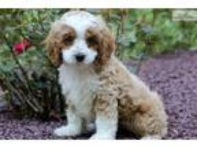 Tizzy - Cockapoo Female