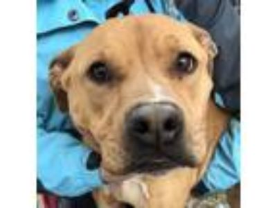 Adopt Yager a American Staffordshire Terrier