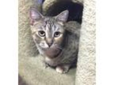 Adopt Cecilia a Bobtail, Domestic Short Hair