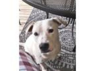 Adopt Karma Kamellion a Labrador Retriever / Mixed dog in Barrington