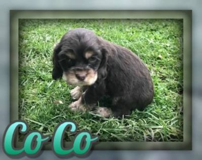 Co Co Male Cocker Spaniel ACA