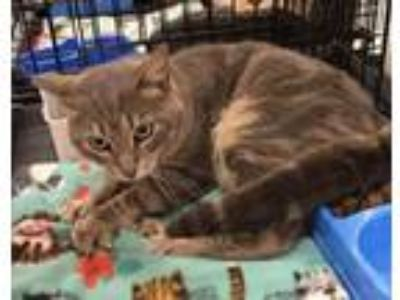 Adopt Baldemar a Gray, Blue or Silver Tabby Domestic Shorthair (short coat) cat